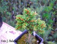 Picea abies 'Posed'