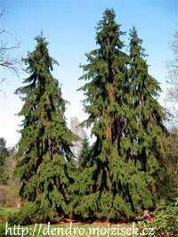 Picea abies 'Pruhoniceana'