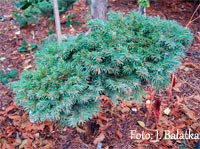 Picea abies 'Psary'