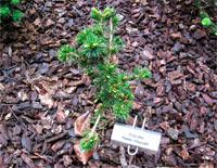 Picea abies 'Pseudo-Maxwellii'