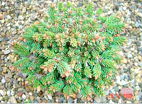 Picea abies 'Puchmayer'