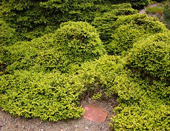 Picea Abies Pumila Nigra хвойные деревья и растения Pinuslibraryru
