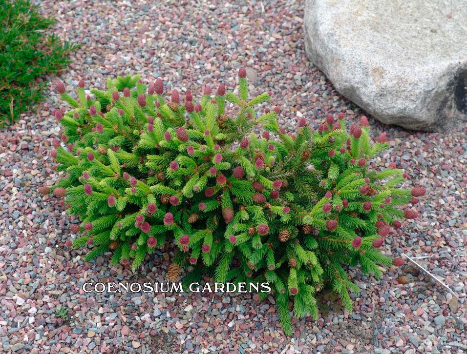 Picea Abies Pusch хвойные деревья и растения Pinuslibraryru