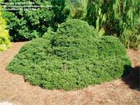 Picea abies 'Pygmaea'