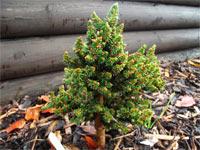 Picea abies 'R.E.L. Broom'