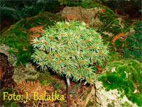 Picea abies 'Rokosky'