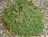 Picea abies 'Rosengarten'