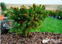 Picea abies 'Roth'