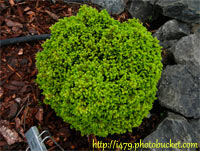 Picea abies 'Rusalka'