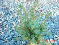 Picea abies 'Ruzak'