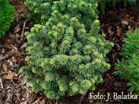 Picea abies 'Rybnicek'