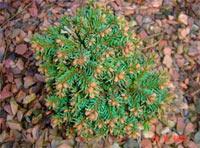 Picea abies 'Sachta Olsi W.B.'