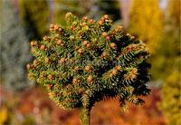 Picea abies 'Sasa'