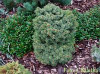 Picea abies 'Sazavka Nr4'