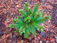 Picea abies 'Sedmidomi'