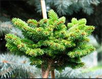 Picea abies 'Seglora'