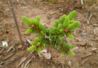 Picea abies 'Sherrie'