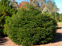 Picea abies 'Sherwood Gem'