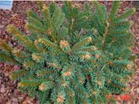 Picea abies 'Silberkissen'