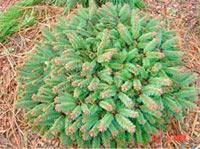 Picea abies 'Sonia'