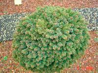 Picea abies 'Sonnenberg'