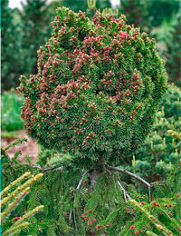 Picea abies 'Spring Fire'