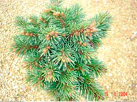 Picea abies 'Stary Sedlo'