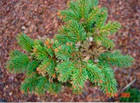 Picea abies 'Stary Smolivec'