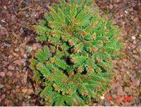 Picea abies 'Suchta'