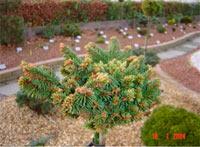 Picea abies 'Tisovska Hora'