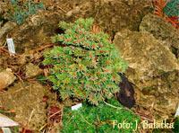 Picea abies 'Truba Nr5'