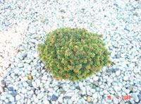 Picea abies 'Tuberculata'
