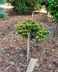 Picea abies 'Tunkinata Nr1'