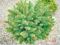 Picea abies 'Tupatla-1'