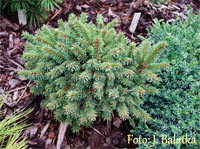 Picea abies 'Tyniste'