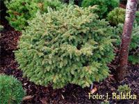 Picea abies 'U Skolky'