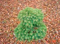 Picea abies 'Vallee'