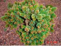 Picea abies 'Vasek'