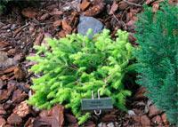 Picea abies 'Vermont Gold'