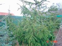 Picea abies 'Virgata'