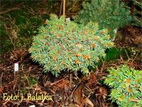 Picea abies 'Vizovicke Paseky Nr2'