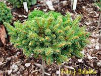 Picea abies 'Vlasta'