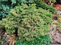 Picea abies 'Vletice'