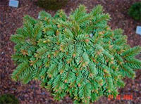 Picea abies 'Vysluni'