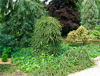 Picea abies 'Wartburg'