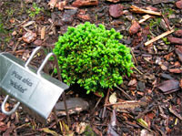 Picea abies 'Wichtel'