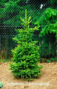 Picea abies 'Will's Zwerg'