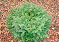 Picea abies 'Wilsoni'