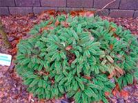 Picea abies 'Winkelmoos'