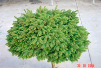Picea abies 'Witches Broom'
